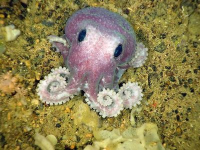 Newfoundland-deep-sea-species-octopus_23992_600x450