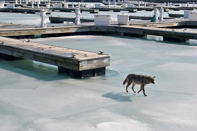 Urban coyote pool