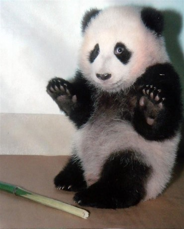 Baby_panda_being_arrested